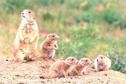 Factors such as sex ratio among adults, maternal condition, local mate competition, and local resource enhancement do not affect the sex ratio within litters. Consequently, each mother usually weans approximately equal numbers of male and female offspring.