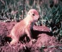 Juvenile prairie dog at first emergence from natal burrow, when it is about 5.5 weeks old and weighs about 150 grams.