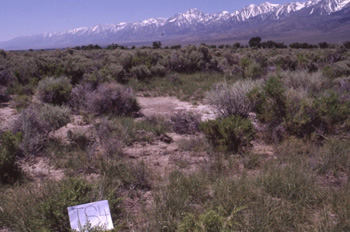 Vegetation characteristic of Owens Valley. Many of these species rely on groundwater for growth throughout the dry summer months.