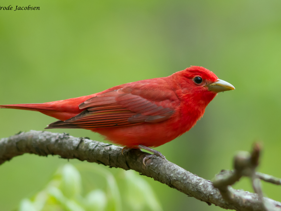Red Bird perches on stick