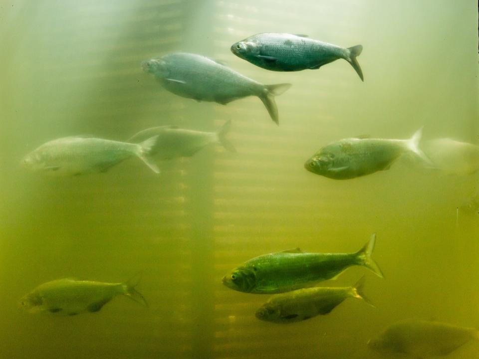 school of migrating shad fish at Conowingo dam