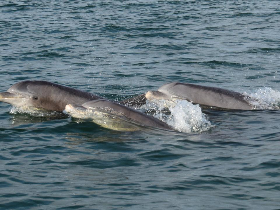Dolphins in Hull Creek, Chesapeake Bay by Chris Bache