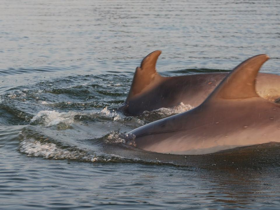 Dolphins in Chesapeake Bay by Chris Moe