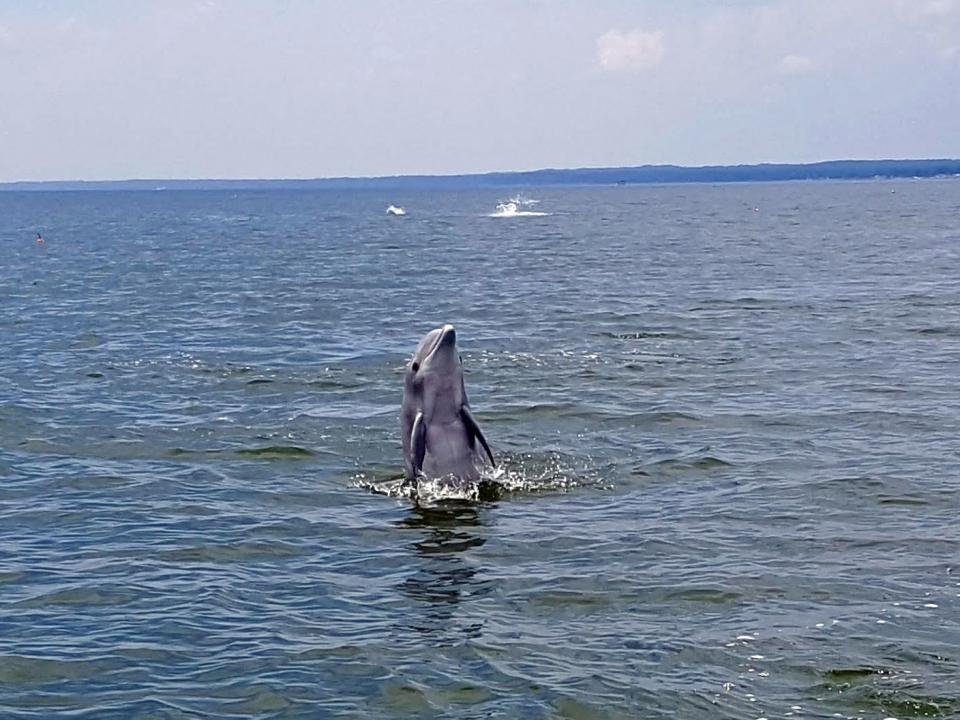 Dolphin in Potomac River by Dennis DePriest