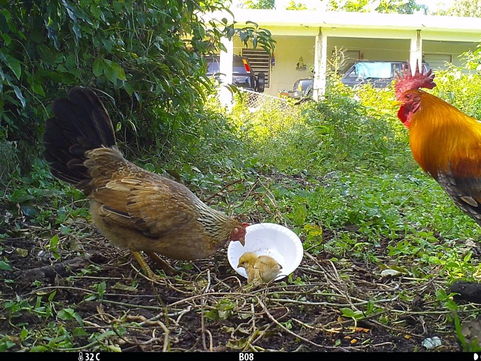 Chickens eating cat food at field cameras.