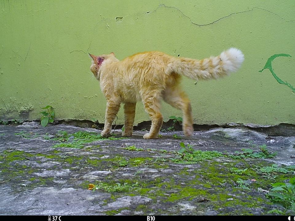 Injured male cat in downtown San Juan