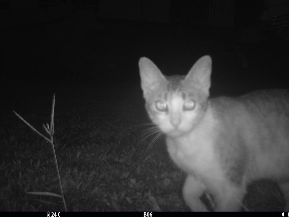 A cat is captured on a night trail cam