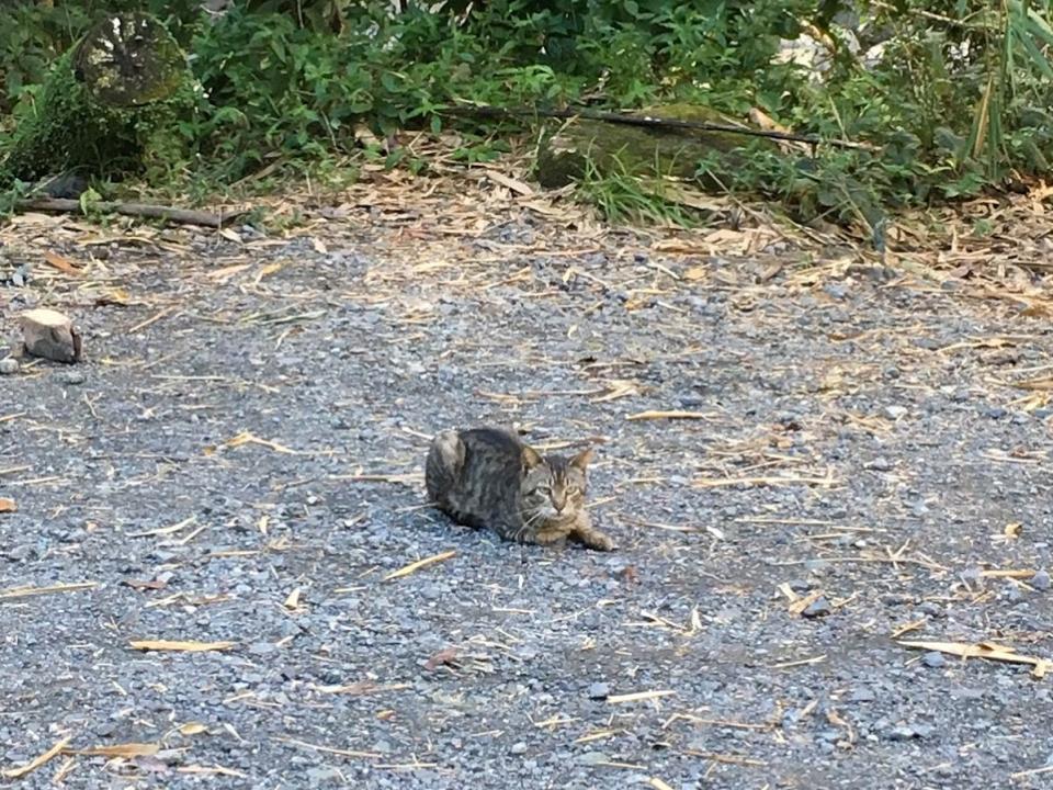 Free-roaming cat in El Yunque
