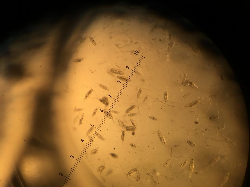 Copepods, small crustaceans that play an important role in the aquatic food web, move below a microscope.