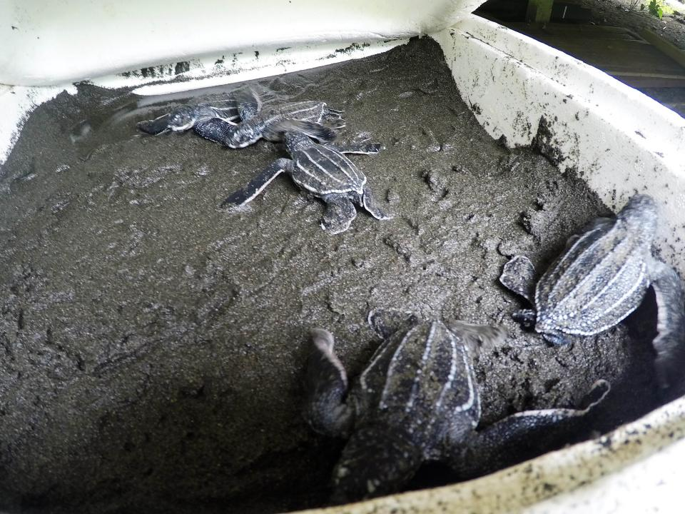 Turtles in incubators as part of the Lost Years research by Helen Bailey and Aimee Hoover