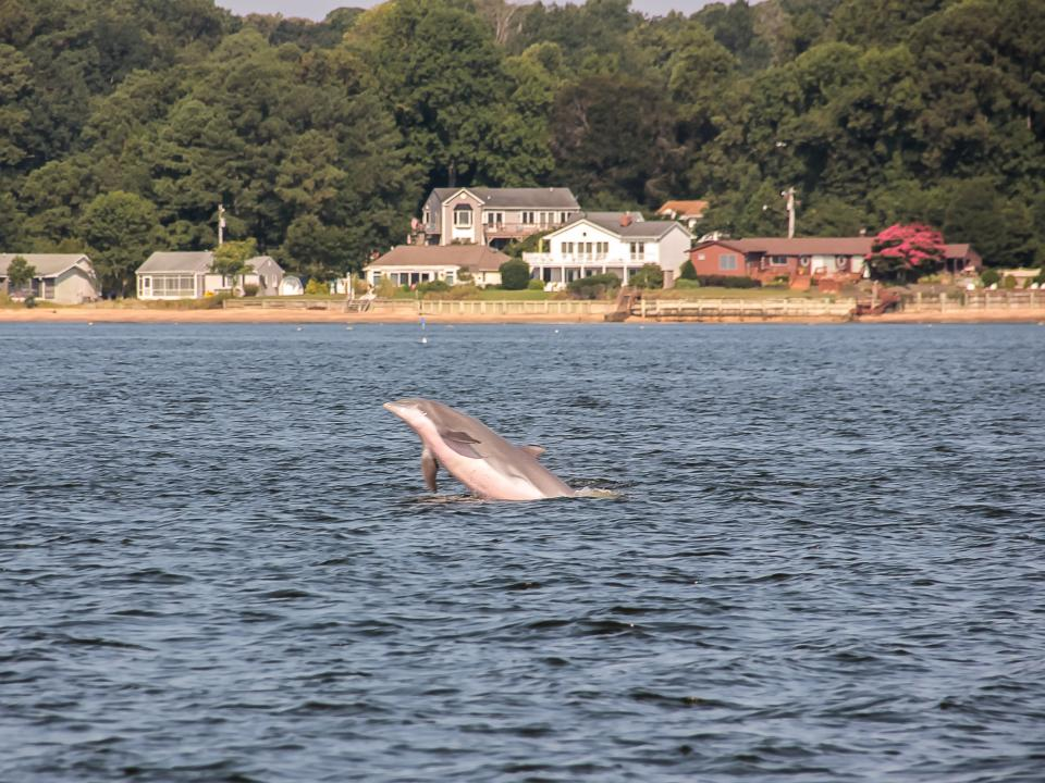 Dolphin jumping out of the water in middle Chesapeake Bay