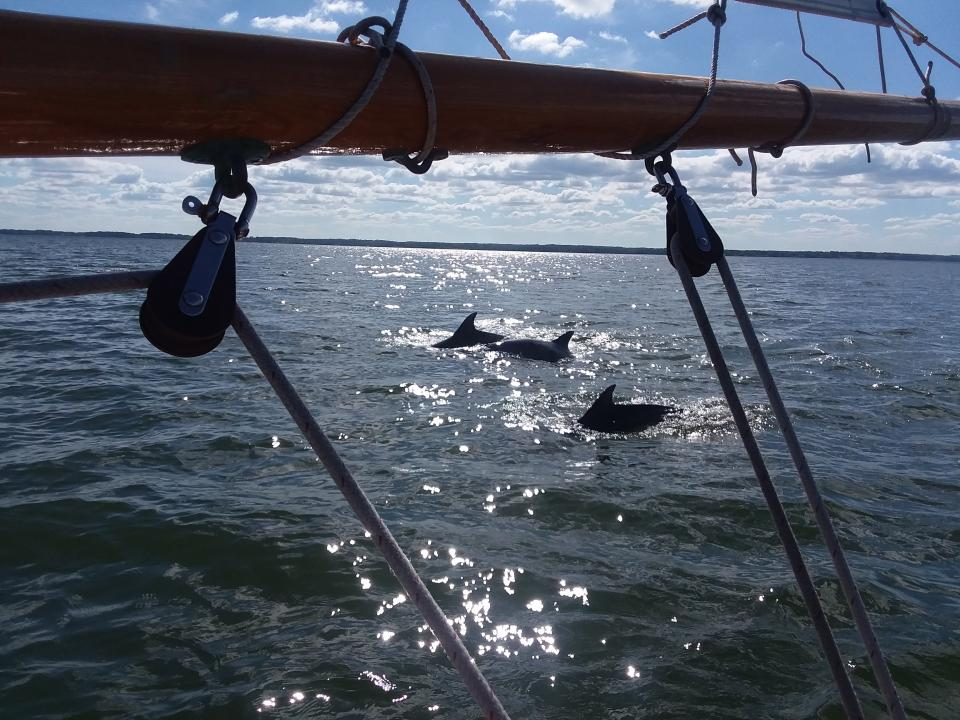 Dolphins in Chesapeake Bay by Kevin MacDonald