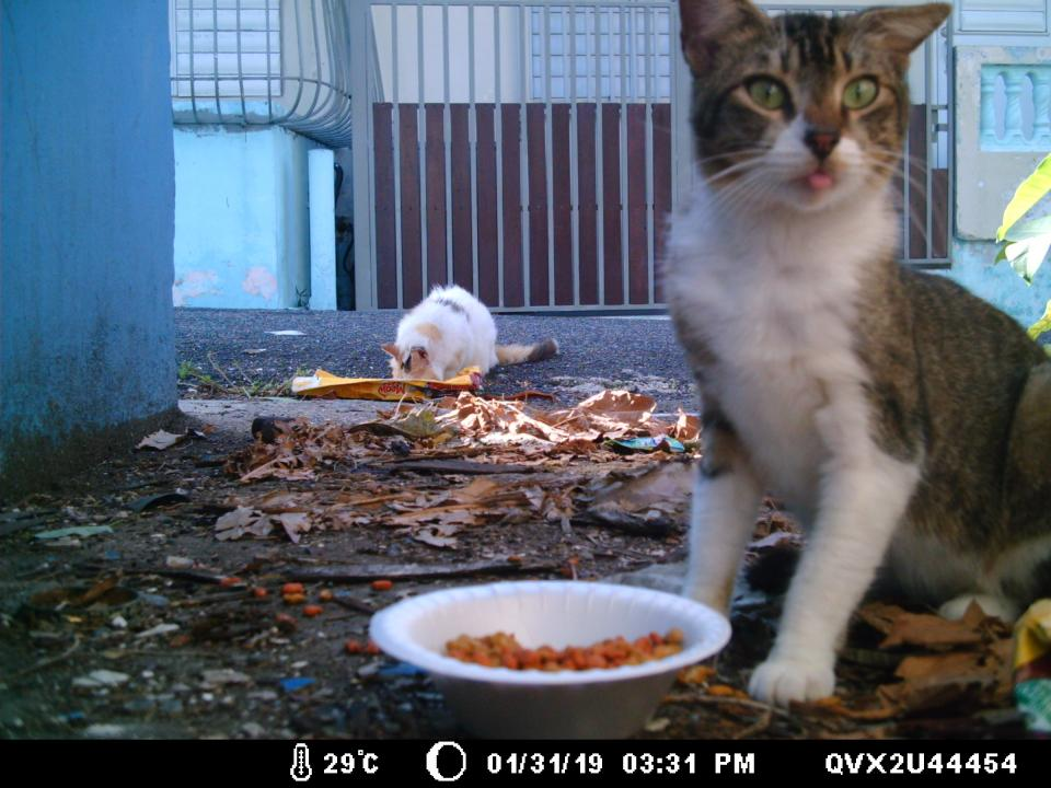 Free roaming domestic cat caught on camera with plate of food in Puerto RIco