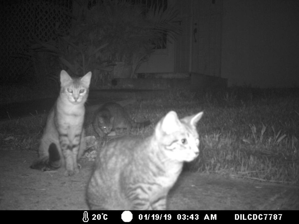 Three cats captured on camera in a suburban neighborhood.