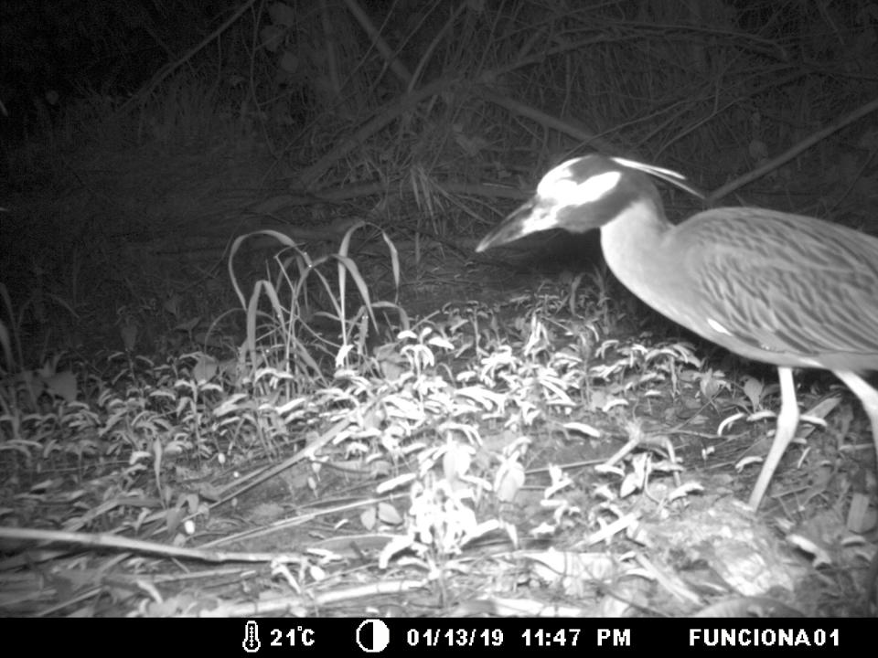 Large bird captured on trail cam at night