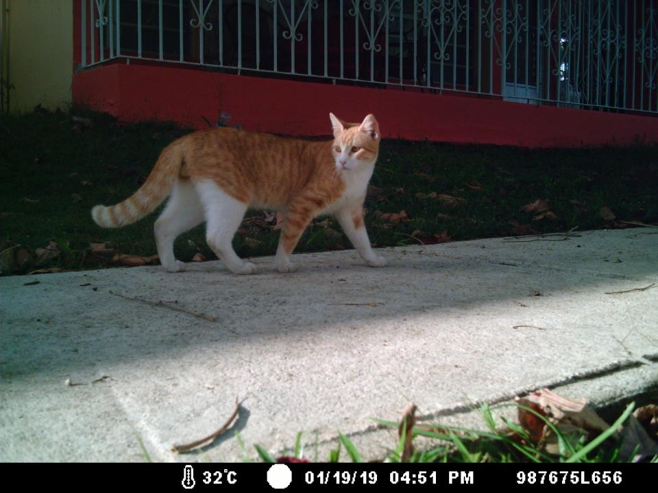 Unneutered male cat in a suburban neighborhood.