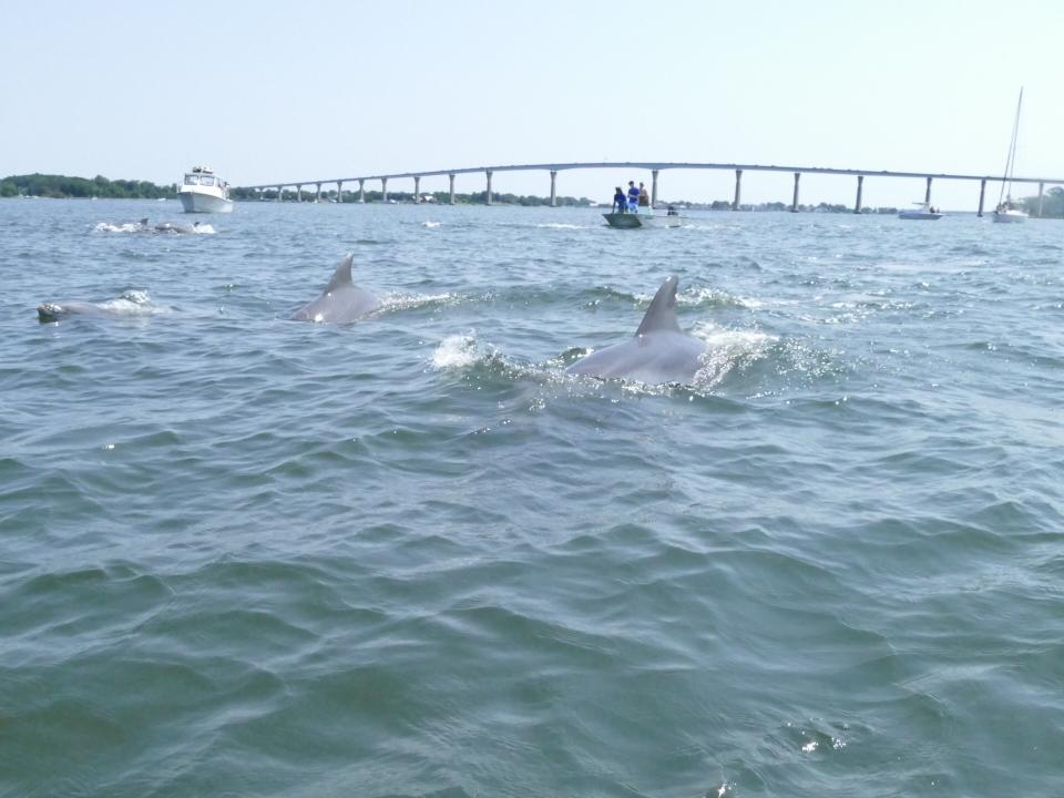 Dolphins in Solomons by Philip Yunger