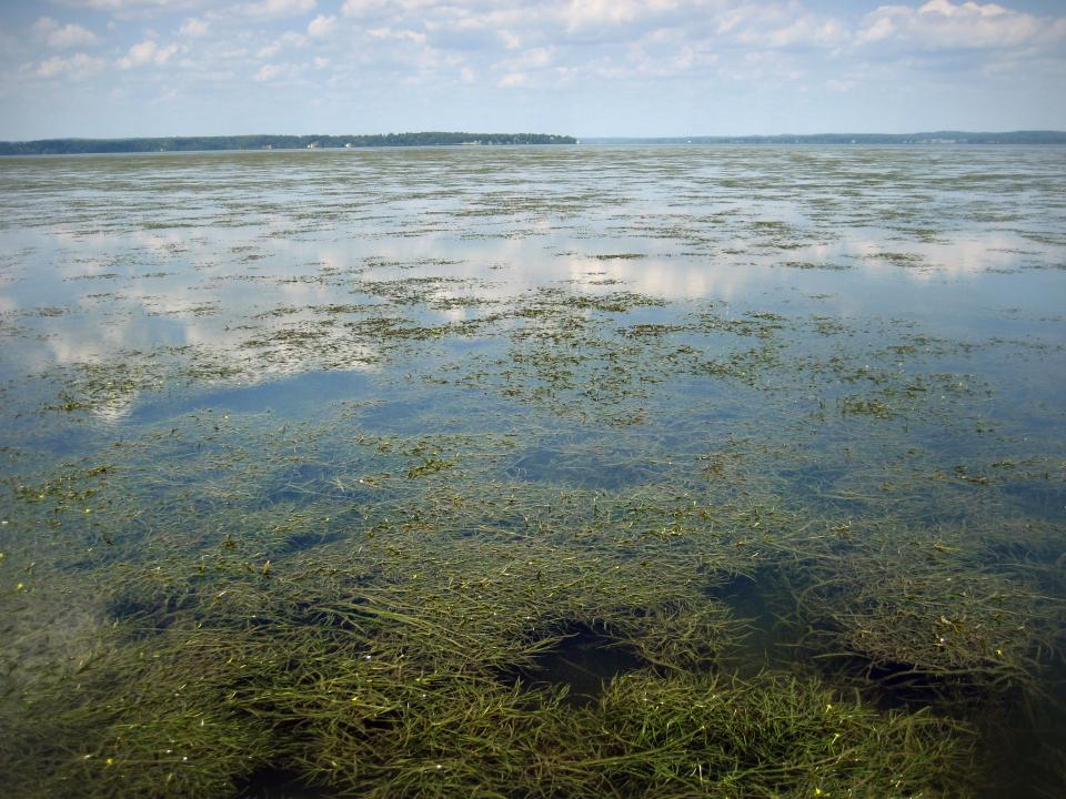 Aquatic grasses seen in the Susquehanna Flats near Havre de Grace, Maryland.