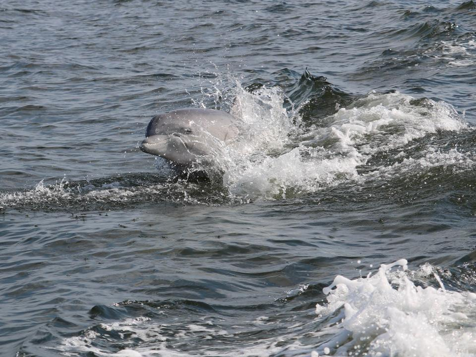 Dolphin at Point Look Out by Tania Richardson Remaly