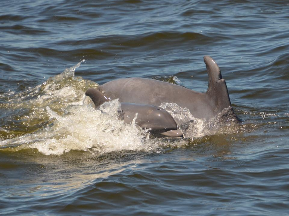 Dolphins swimming in the Patuxent River