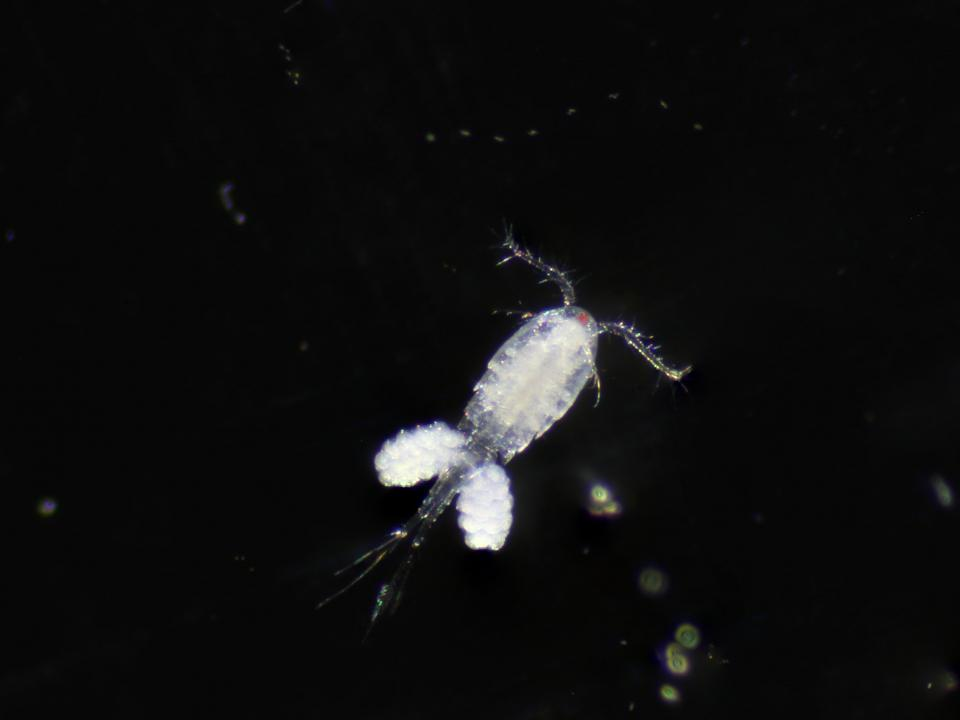 Adult female copepod, Acanthocyclops robustus, from ponds at Pickering Creek Audubon Center in Easton, MD
