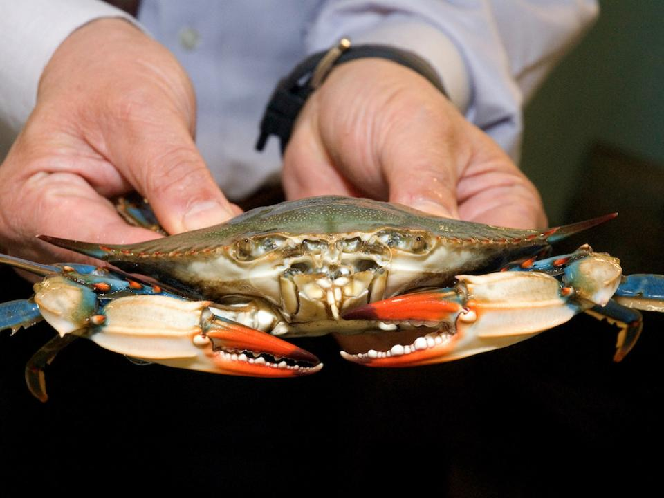 hands holding blue crab