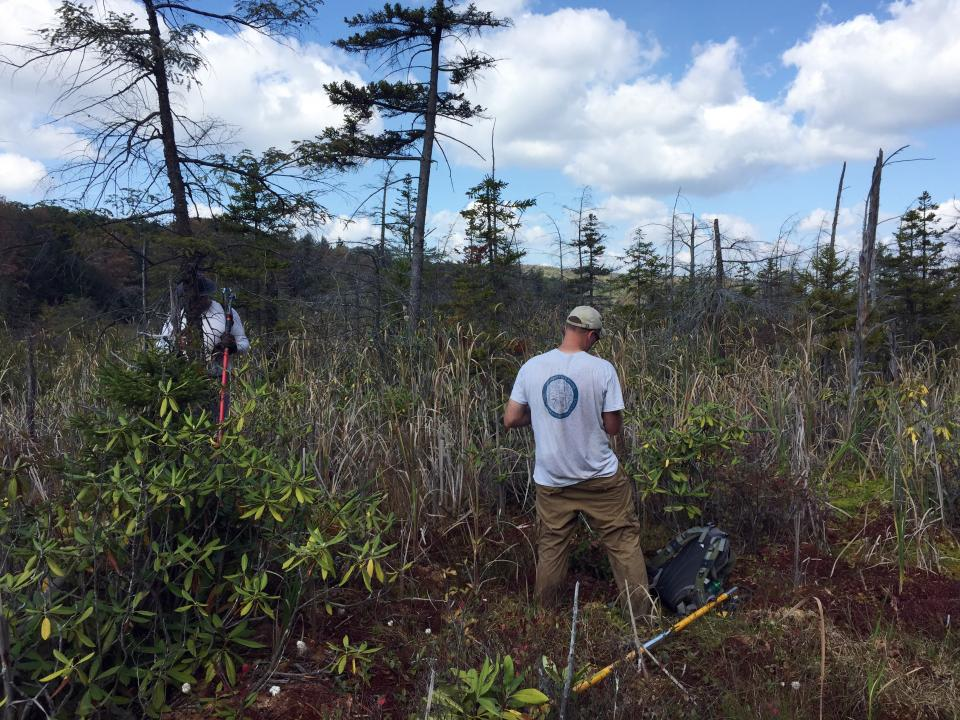 Matt Fitzpatrick scours a field for samples for research involving red spruce trees.