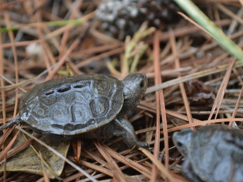 A baby terrapin hatchling crawls across pine needles on the ground.