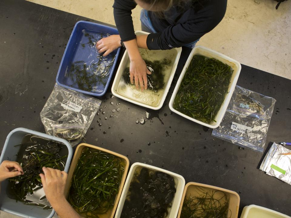 A birds eye view of researchers going through seagrass.