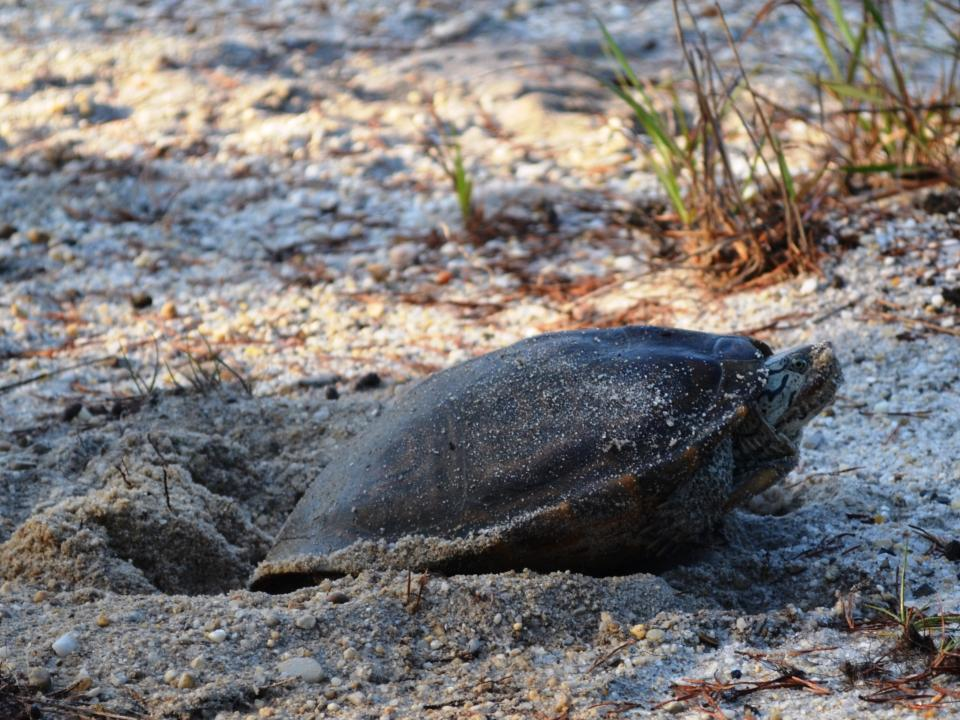 A terrapin female digs into the sand to lay her eggs.