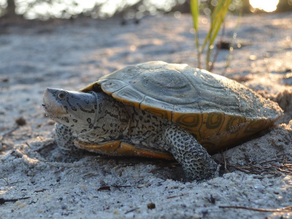 A nesting terrapin nestles into a sandy beach