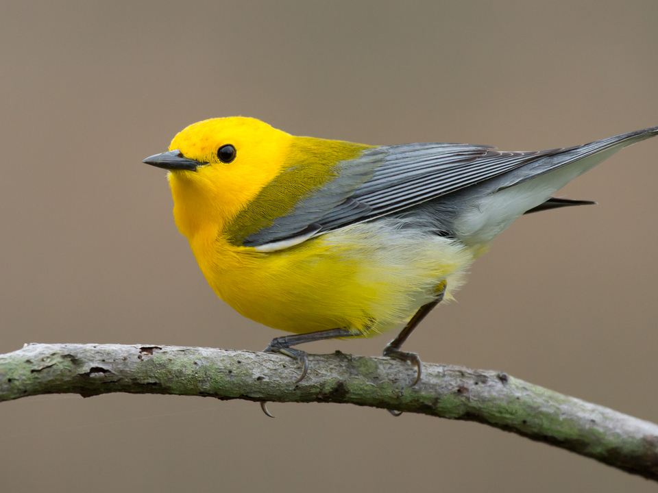 A yellow and grey migratory bird perches on a stick