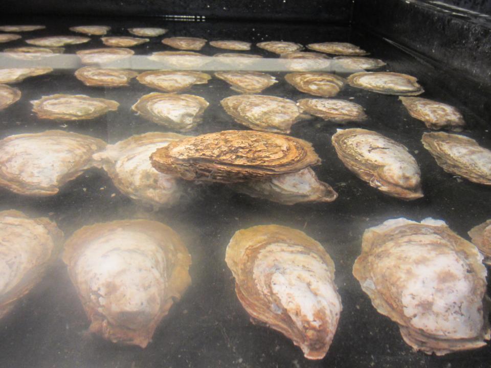 oyster breeding