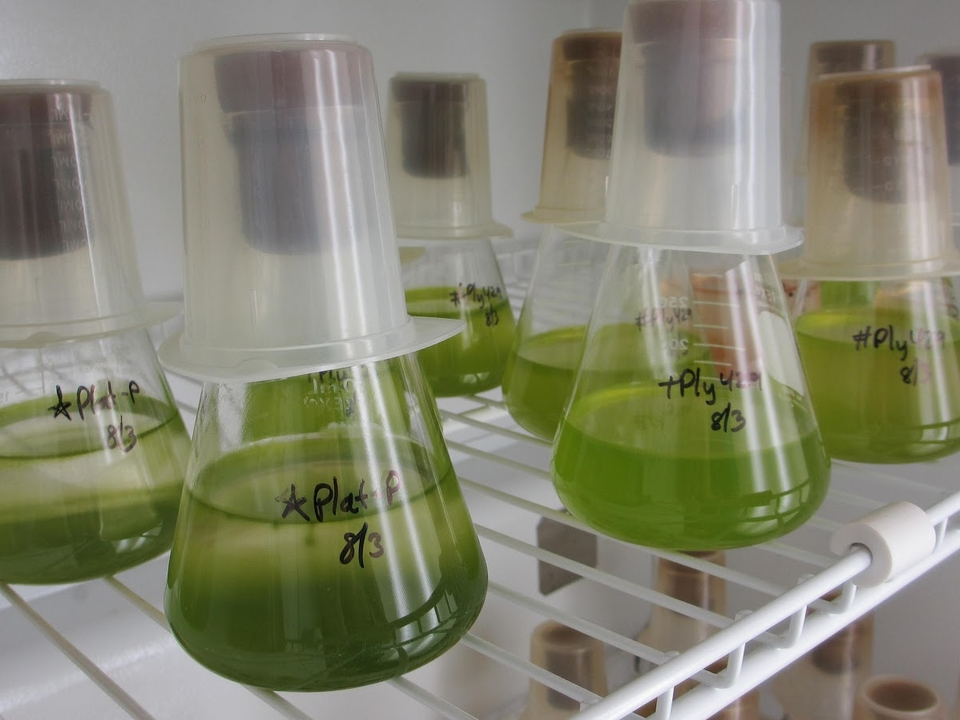 Algae stock culture in flasks