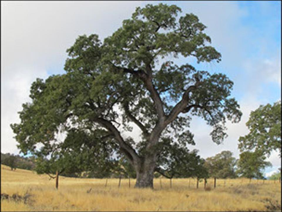 Photo of a valley oak tree in California.