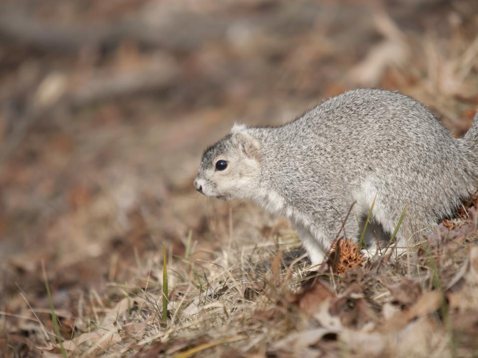 Photo of Delmarva Fox Squirrel