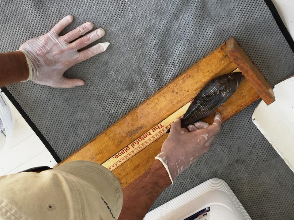 examining the length of a black sea bass