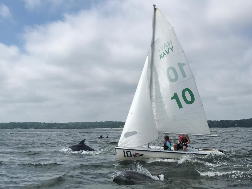 Dolphins swim near a sailboat