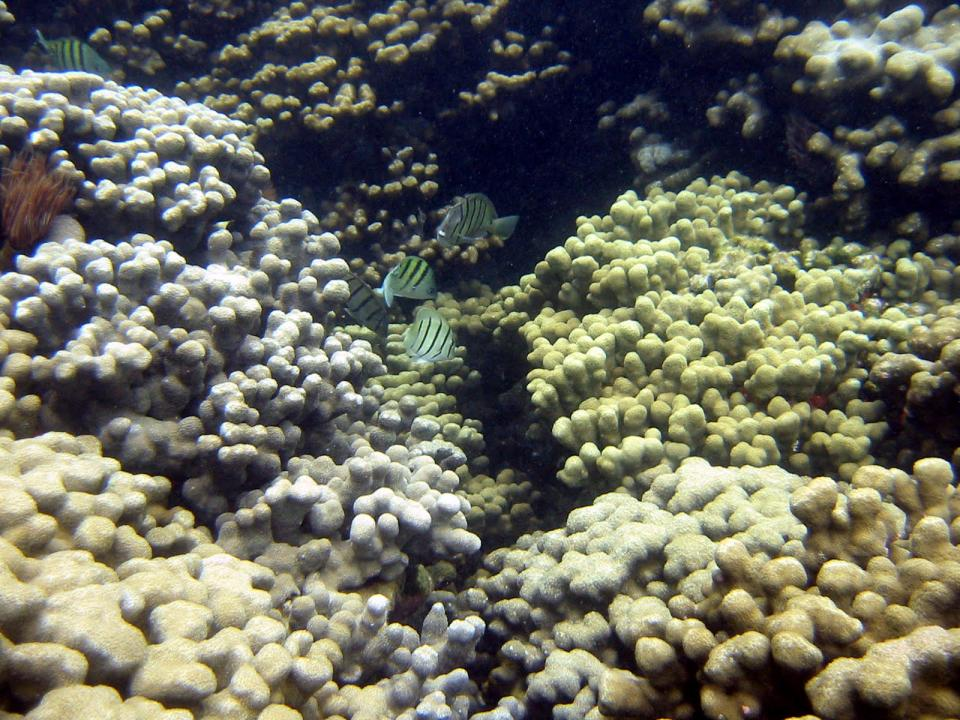 Coral and fish off coast of Hawaii