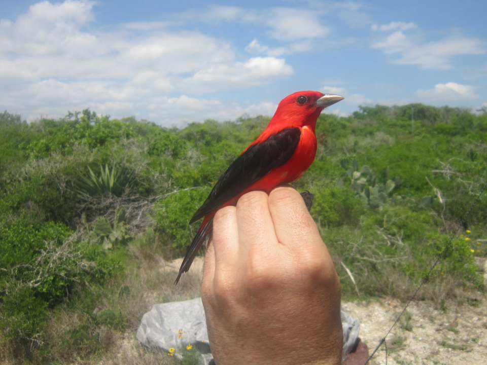A scarlet tanager on Emily Cohen's hand.