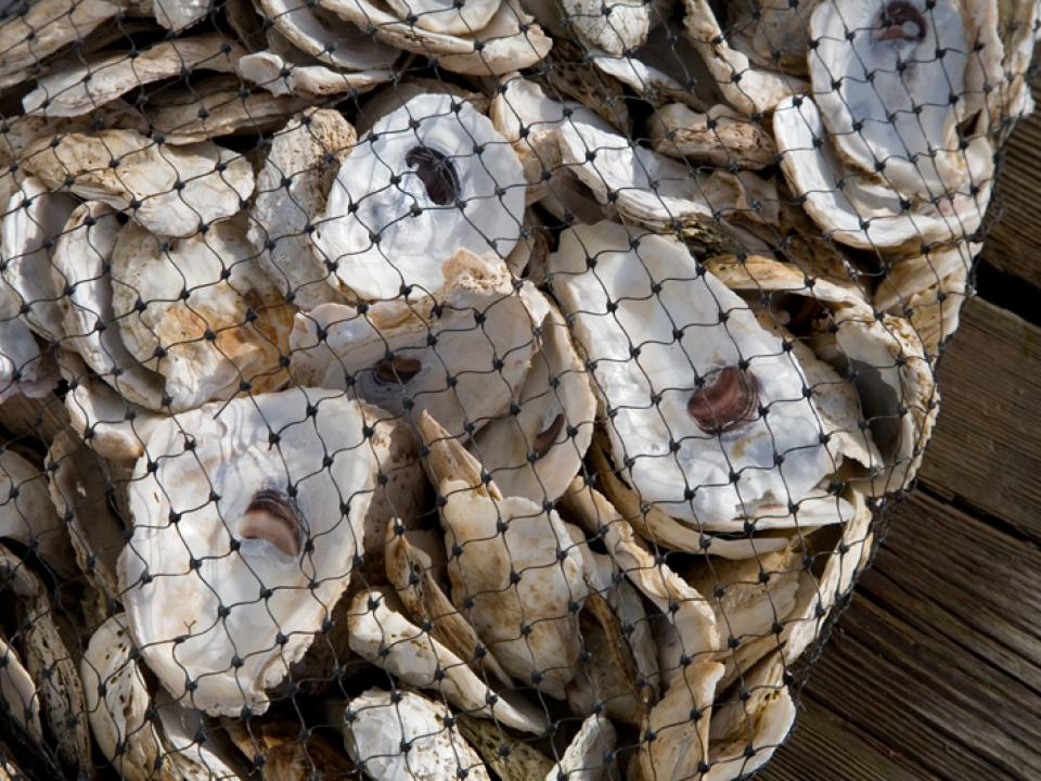 collection of oysters
