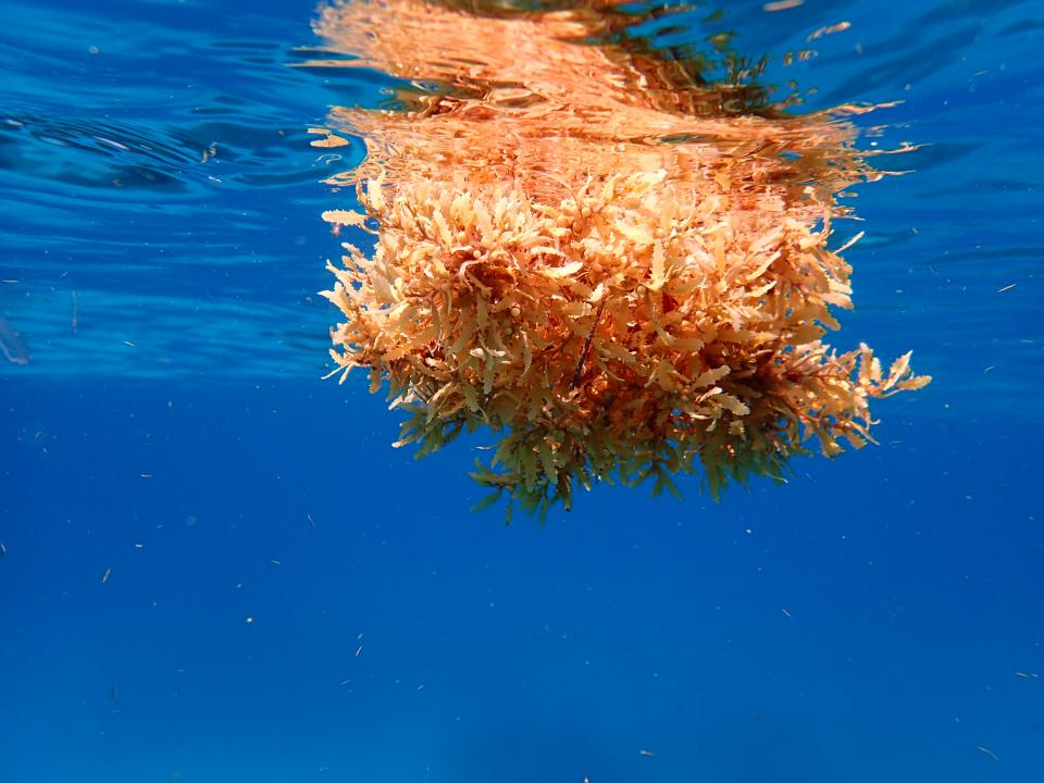 Clump of sargassum floating in the blue ocean
