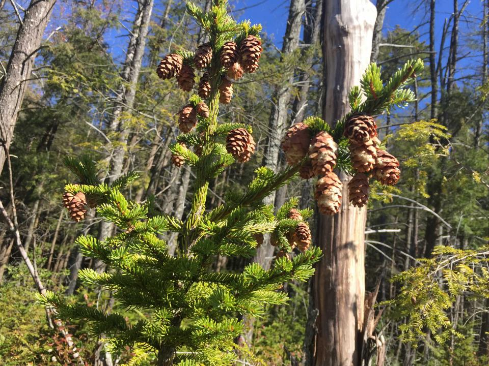 Cones weigh down the top of a red spruce tree.