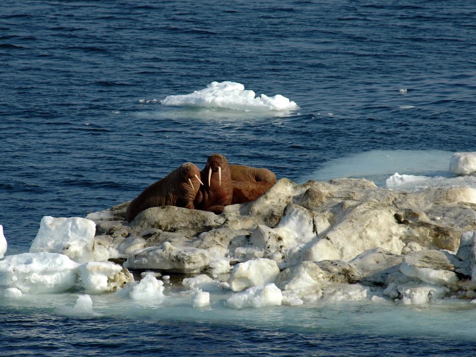 Walruses on sea ice