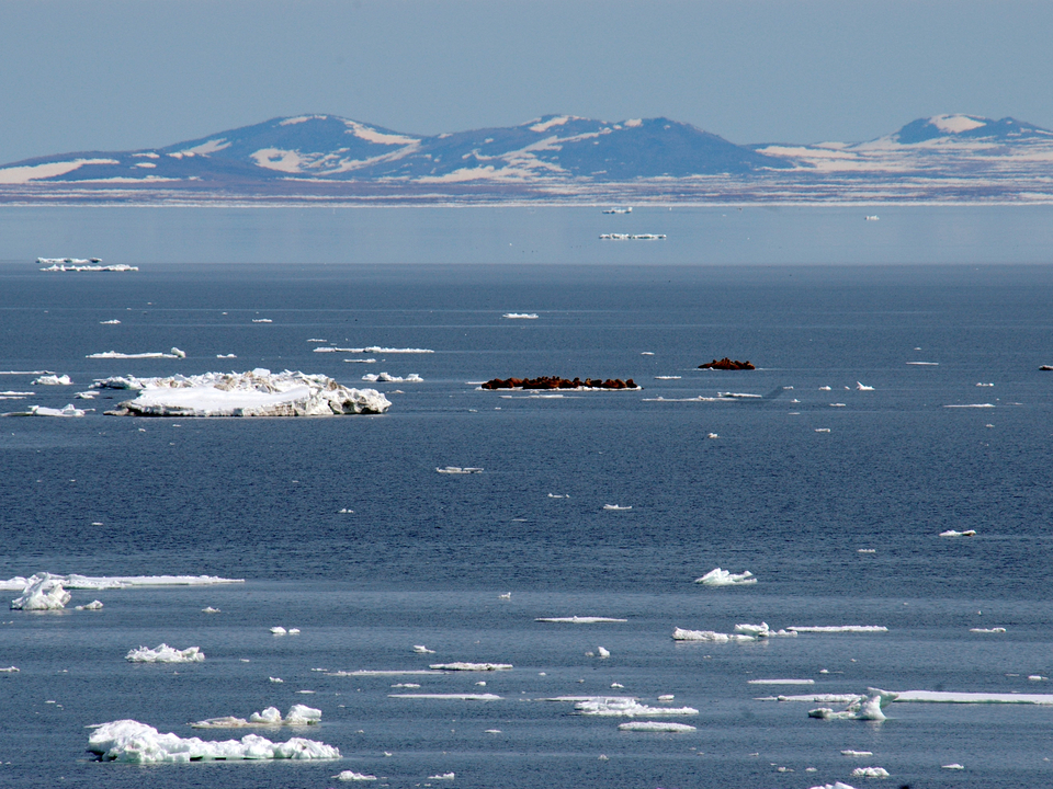 arctic sea ice with walruses in the distance