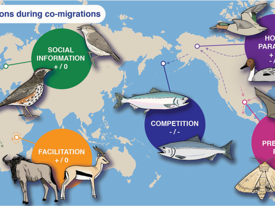 Co-migration interactions