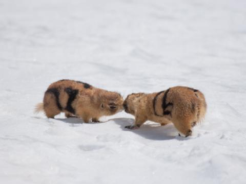 Prairie dogs kiss in the snow