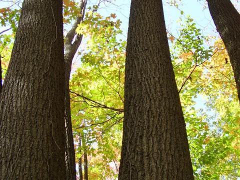 Looking up tree trunks toward the canopy.