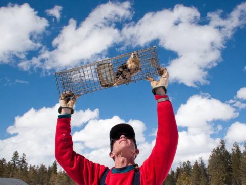 John Hoogland raises a cage to carefully inspect a prairie dog.
