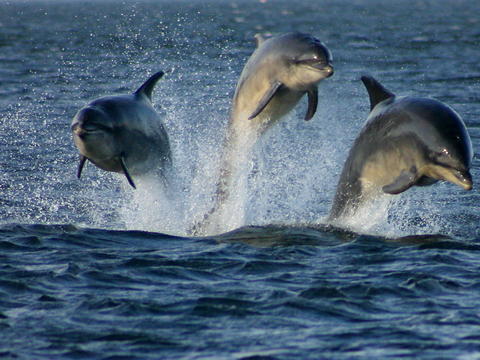 Three dolphins jump off of Scotland. Photo by Helen Bailey.